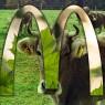 พันธะสัญญาของแม็คโดนัลด์ในการซื้อเนื้อวัวอย่างยั่งยืน