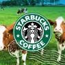 เลี้ยงวัวด้วยกากกาแฟสตาร์บัคส์